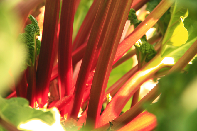 Stalks of freshly harvested rhubarb