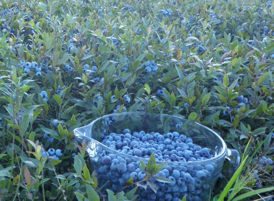 Alexander's Wild Maine Blueberries in Greenfield