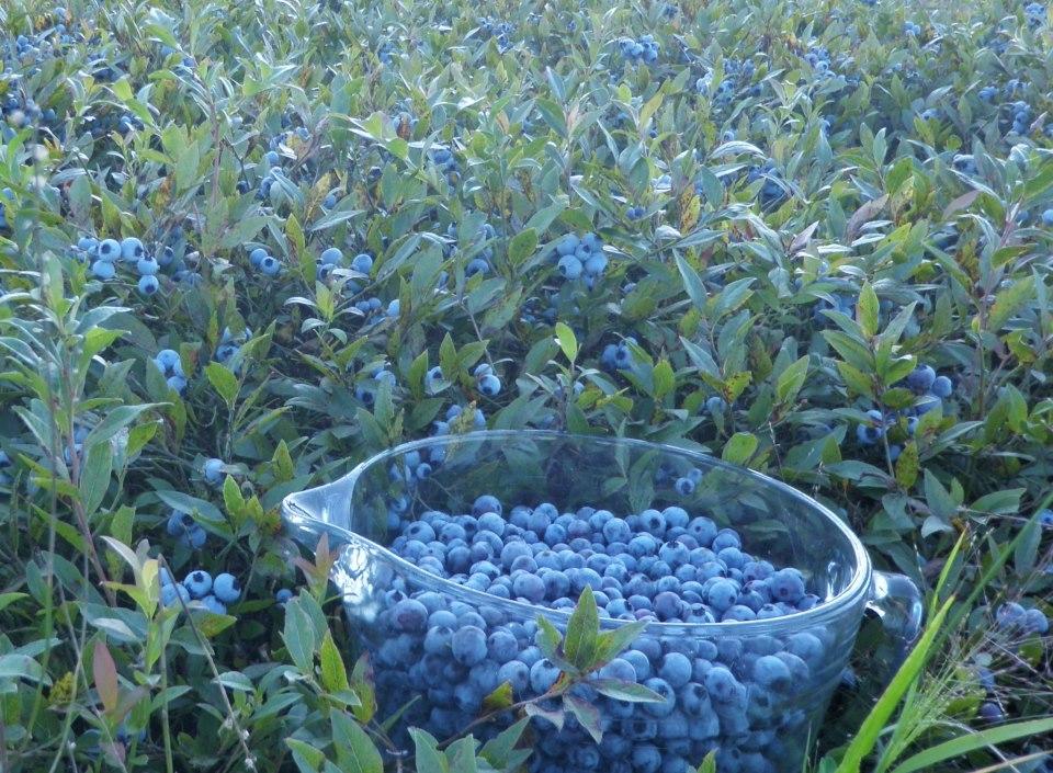 Alexander's Wild Maine Blueberries in Greenfield