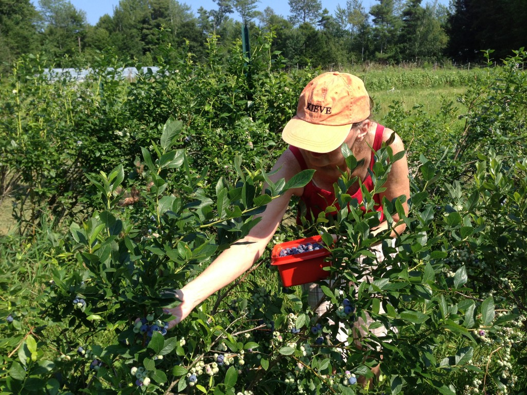 Me picking at R& L Berry Farm. The blueberries were just like Leane said — awesome!