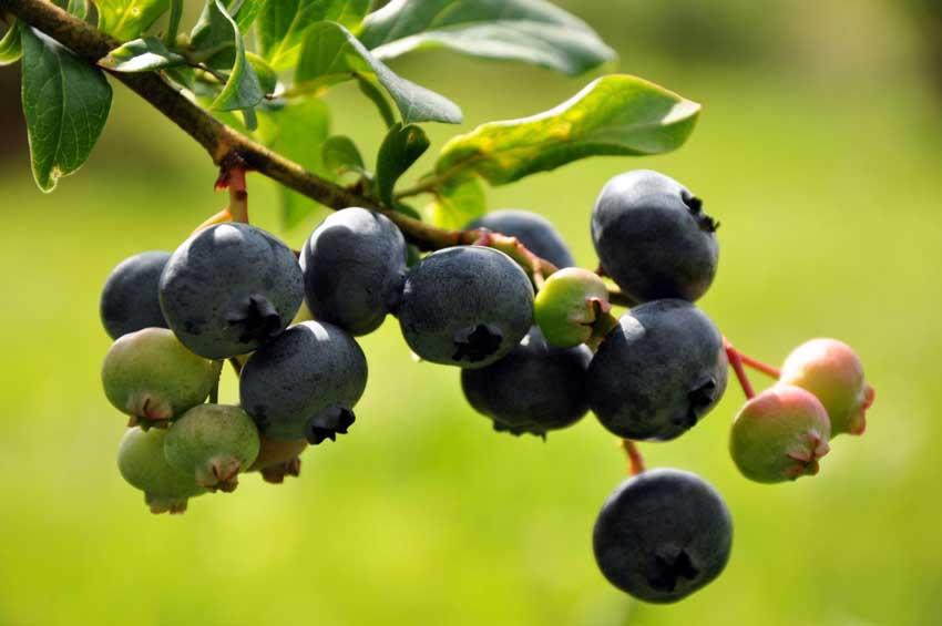 Estes Farm Blueberries