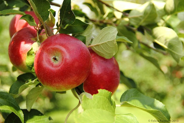Where to Pick Apples in Maine