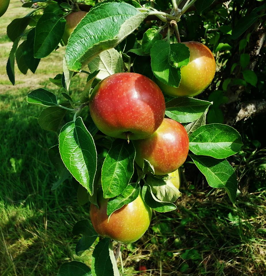 Apples hanging from a tree