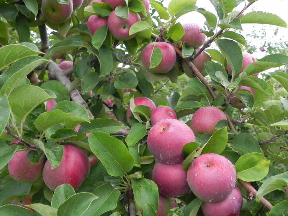 Where You Can Pick Apples In Maine Catching Health With