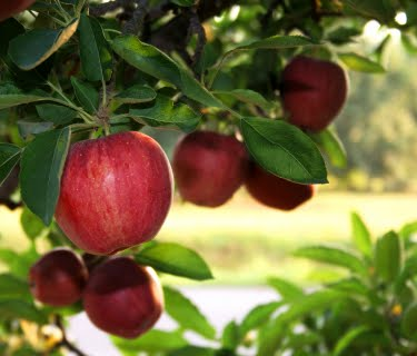 Apples from Mullis Orchards