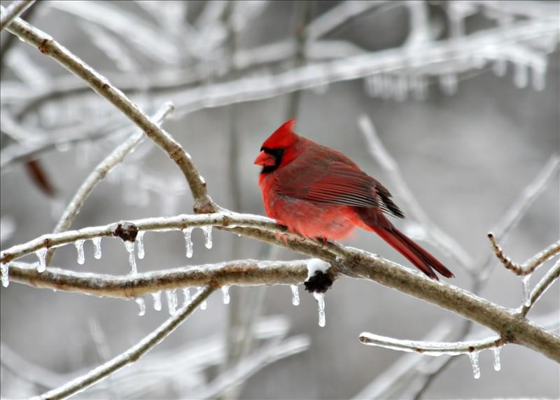Cardinal on frozen branch