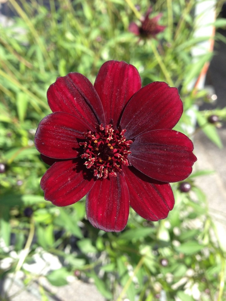 Chocolate cosmos closeup
