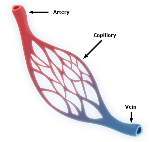 Illustration of capillary system (For HHT description)