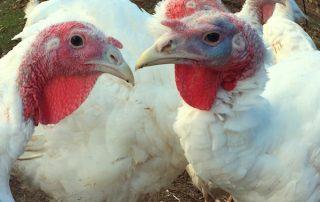 Turkeys at St. Joseph's College