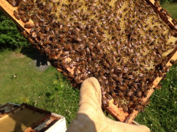 Our honeybees