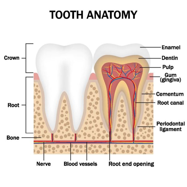 Anatomy of a tooth/root canal