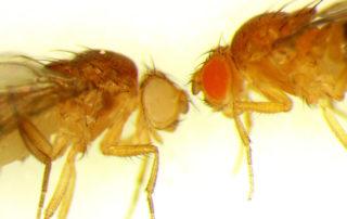 Fruit flies/wound healing