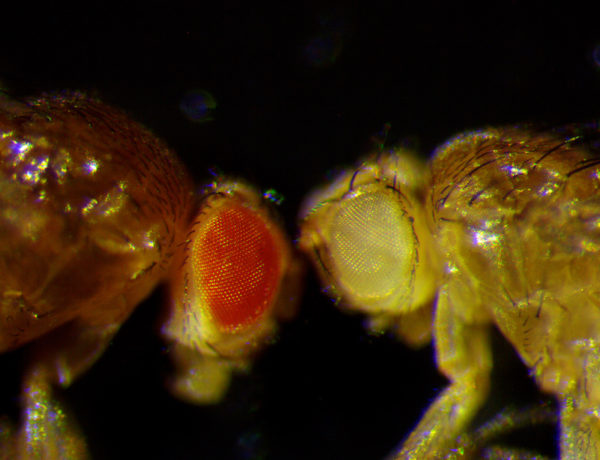 Magnified fruit flies