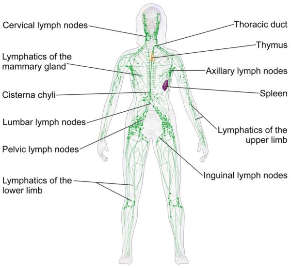 Diagram of lymphatic system