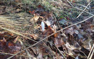 Crocus poking through leaves
