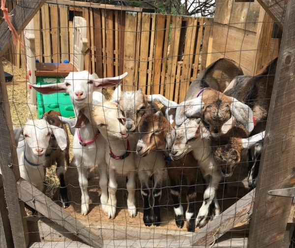Baby goats in the pen