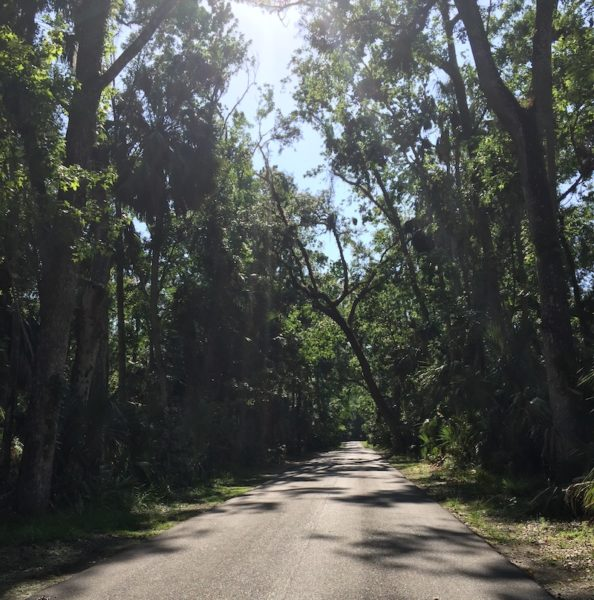 Oak trees Highlands Hammock
