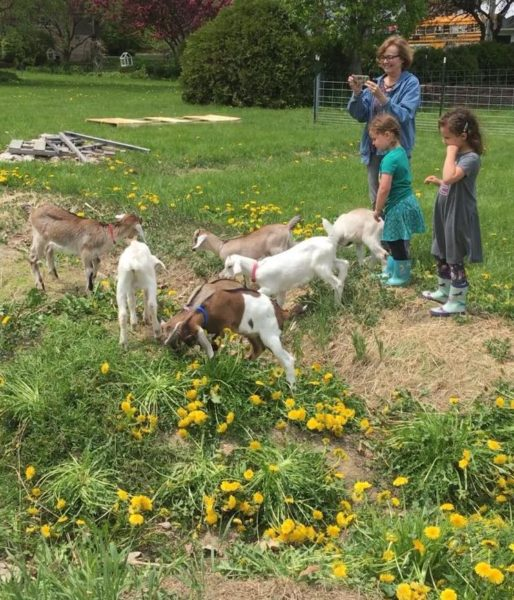 Nora, Lucia, Diane and baby goats