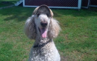 Poodle wearing hat