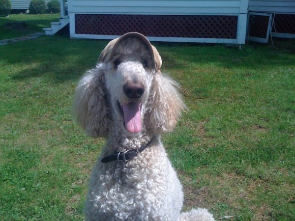 Poodle, whose name is Chewy, wearing hat
