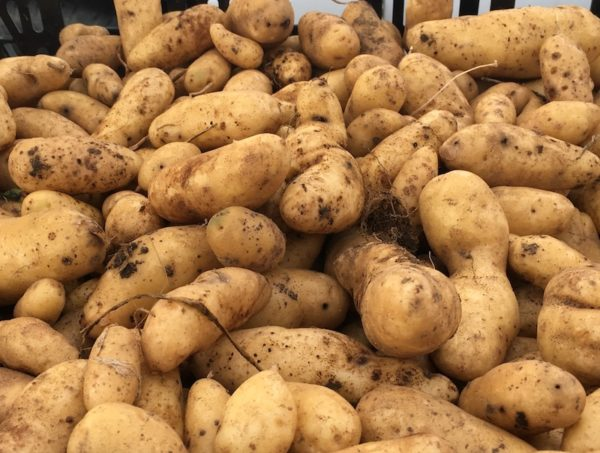 Fingerling potatoes/Farmers' Market