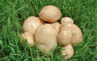 Pile of potatoes on grass