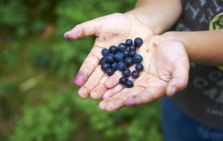 Blueberries in child's hands