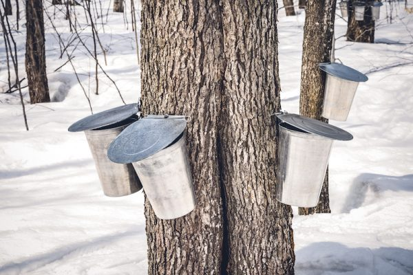 Sap buckets on maple trees/Adobe stock